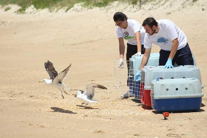 Aves marinhas são soltas após passar por reabilitação e tratamento em Florianópolis; FOTOS