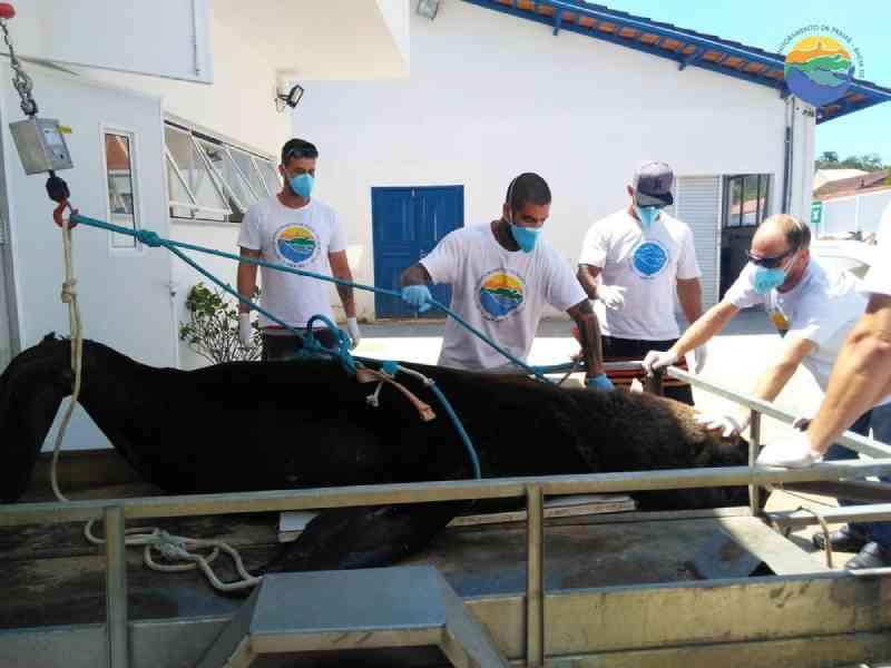 Leão-marinho é encontrado morto em praia de Barra Velha, SC