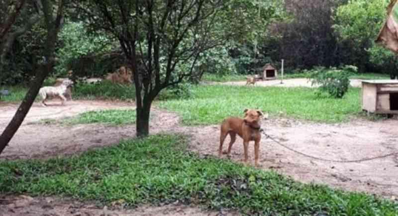 Rinha: cães achados em sítio de Itu (SP) estavam acorrentados e separados