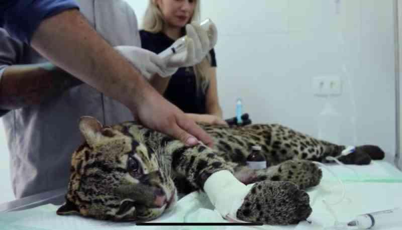 Jaguatirica resgatada ferida tem tratamento veterinário com técnica chinesa em Taubaté, SP