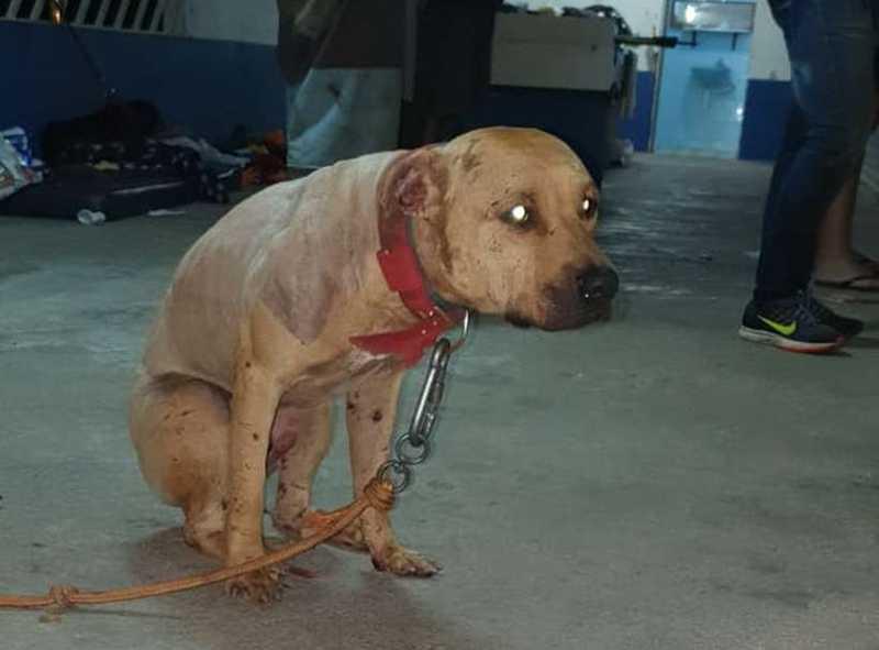 Pit bull resgatado em rinha de cães em São Paulo chegou a urinar sangue