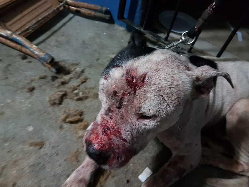 Pit bull que participava de rinha de cães em Mairiporã — Foto: Marcelo Assunção/ TV Globo