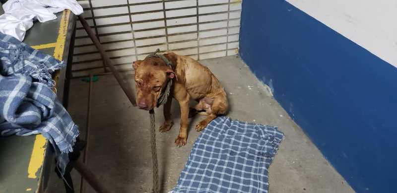 Animal ferido encontrado em rinha de cães em Mairiporã — Foto: Marcelo Assunção/TV Globo