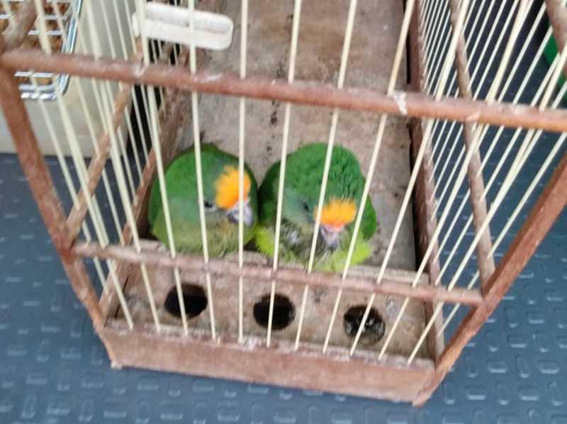 Aves estavam com as pontas das asas cortadas em Presidente Venceslau — Foto: Polícia Militar Ambiental/Divulgação