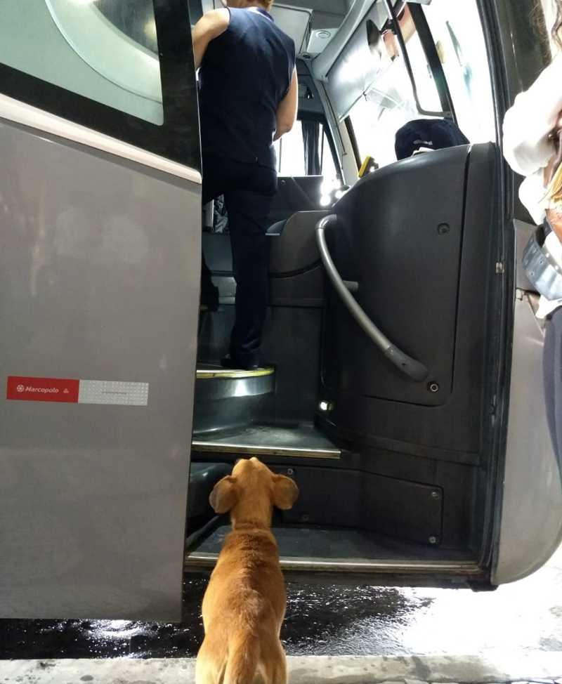 Cadela abandonada procura tutores em ônibus que chegam à rodoviária em Santos, SP