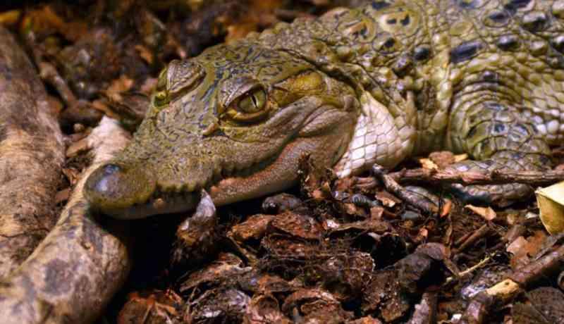 Crocodilo em vias de extinção morto a tiro após morder cuidadora do Zoo