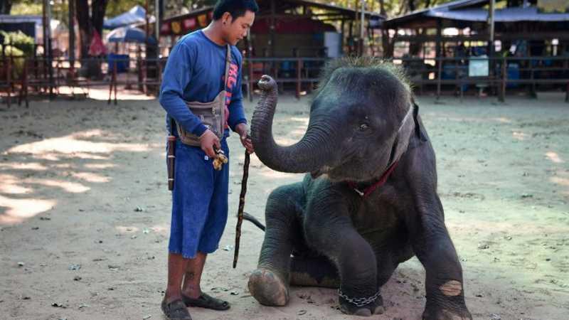 Adestrador ensina truques para o elefante Ploy - AFP Elefante pinta para os turistas em um parque de Maetaeng - AFP