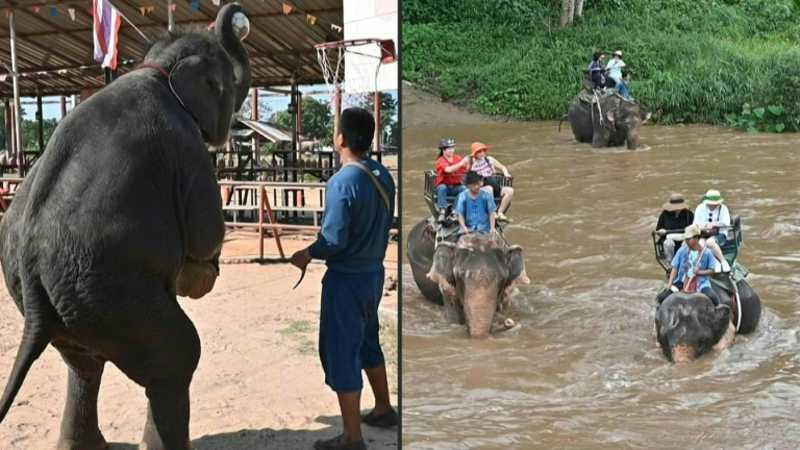 Os elefantes tailandeses são domesticados à força antes de serem vendidos a centros turísticos - AFP