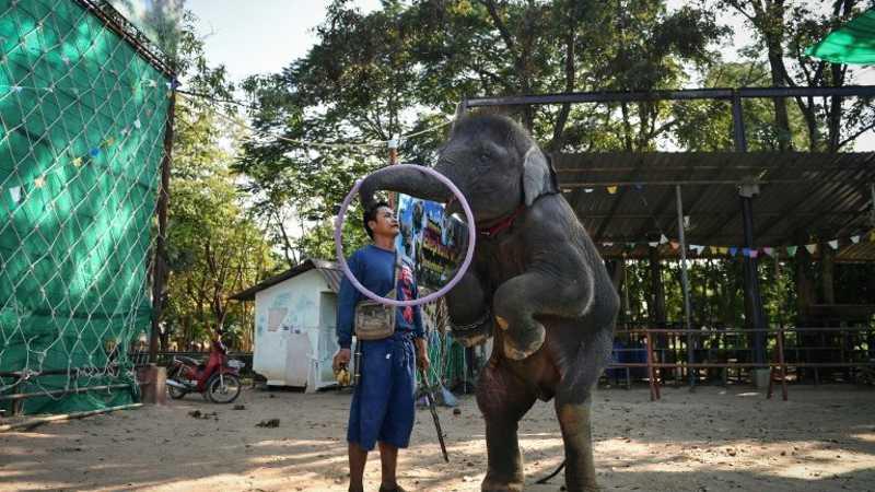 Ploy é adestrado no povoado de Ban Ta Klang, nordeste da Tailândia - AFP  AFP