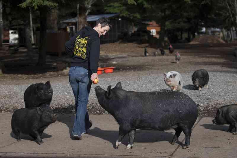 Refúgio de animais Odd Man Inn encontra novos lares para animais 'de fazenda'