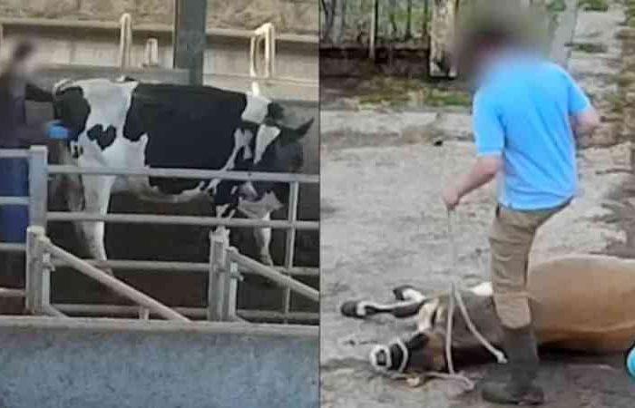 Vacas são socadas, chutadas e estupradas em fazenda do vice-presidente da União Nacional dos Agricultores
