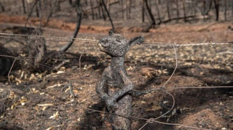 Imagem de canguru carbonizado na Austrália comove o mundo