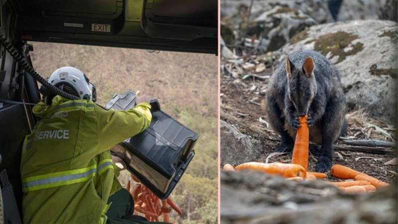 Cenouras despejadas na Austrália para animais durante incêndios Foto: Divulgação/NSW Parks and Wildlife Service