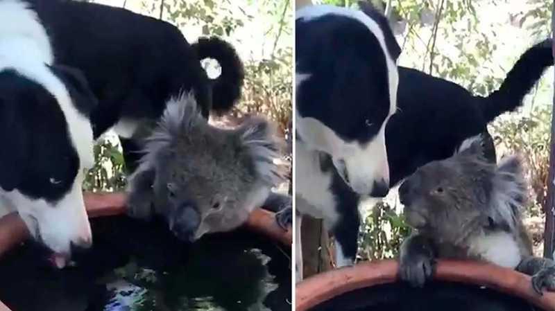 Austrália: vídeo de cachorro dividindo água com coala viraliza. Muito amor!