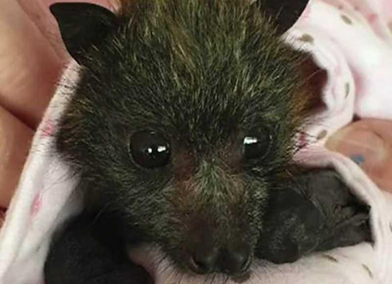 A rede de solidariedade para salvar bebês morcegos órfãos dos incêndios na Austrália