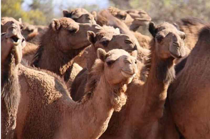 Já são 1.500 camelos abatidos na Austrália. Somalis pedem o fim do massacre e que os animais sejam levados para a África