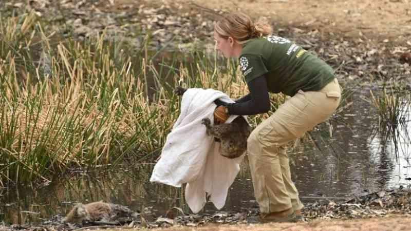 Corrida contra o tempo para salvar animais da Ilha Kangaroo, na Austrália