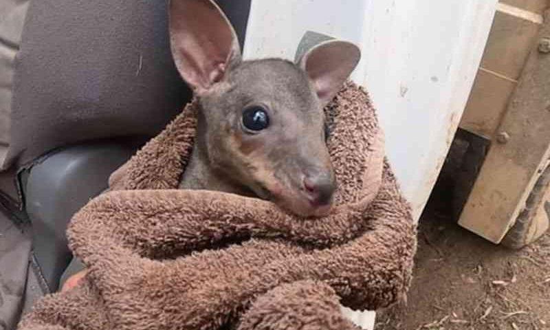 Filhote órfão de canguru viraliza após ser resgatado na Austrália