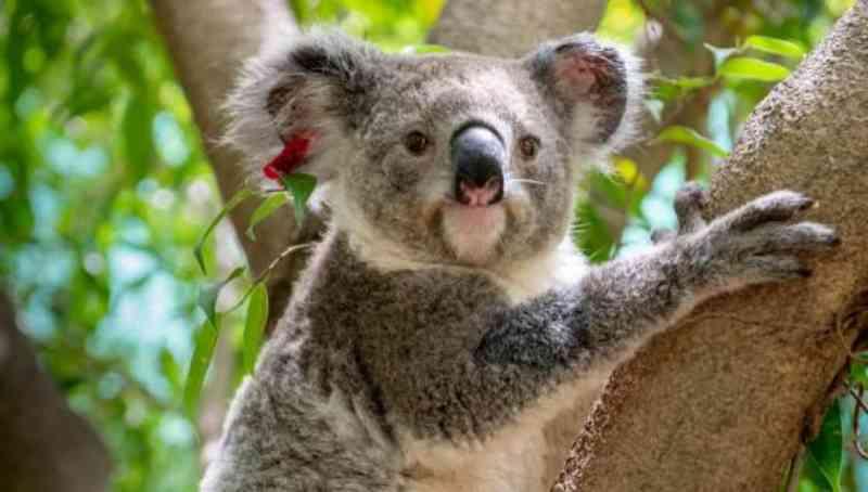 O hospital australiano que já salvou a vida de milhares de animais vítimas dos incêndios florestais