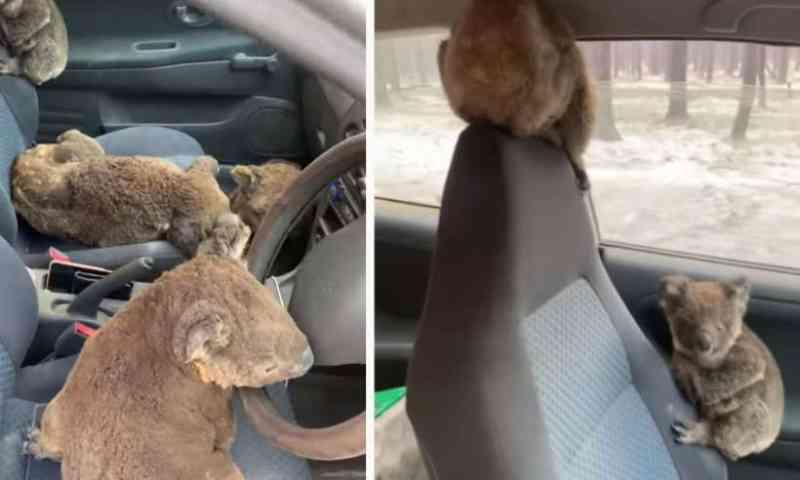 Jovens usam o próprio carro para resgatar coalas feridos nos incêndios da Austrália