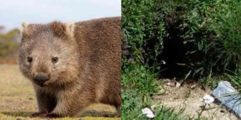 Vombates são flagrados abrigando diversos animais em túneis subterrâneos na Austrália