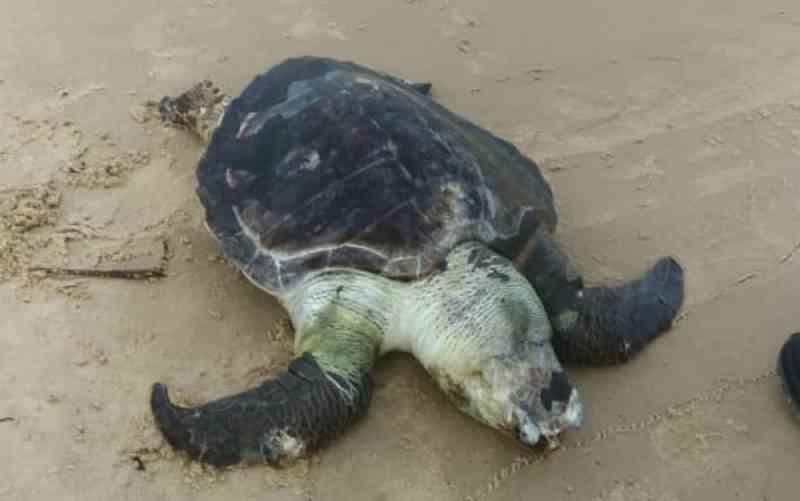 Tartaruga é encontrada morta em praia do sul da Bahia e estado tem registro de mais de 210 animais marinhos mortos