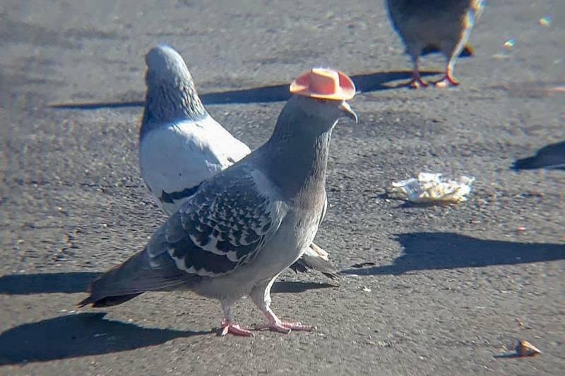 Pombos usando chapéus de cowboy colados à cabeça foram encontrados e resgatados em Las Vegas; vídeo