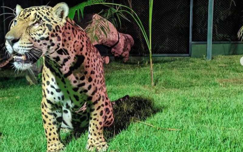 Merlin chegou à nova casa na última quinta-feira (16), em Corumbá de Goiás — Foto: Raul Coimbra/NEX