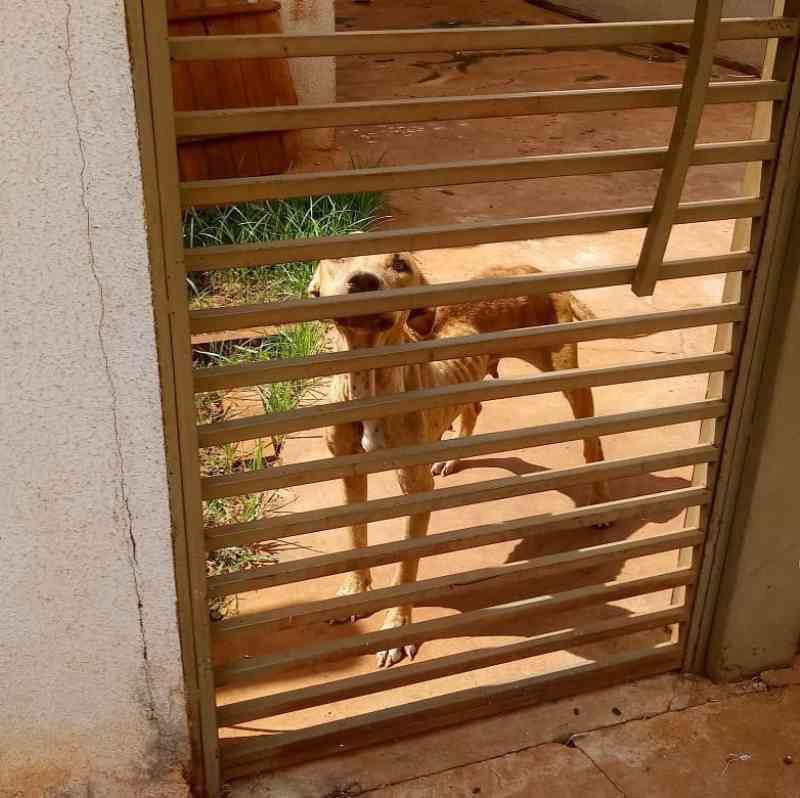 Cães pit bull são resgatados em estado crítico e ONG pede ajuda para tratamento