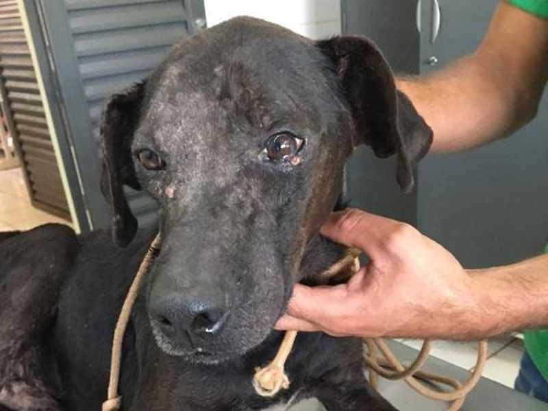 Animal encontrava-se extremamente debilitado, aparentando desnutrição e muito doente por sarna (Foto: Divulgação/PMA)