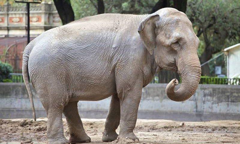 Mara se prepara para ser transferida para o Brasil — Foto: Santuário de Elefantes/Divulgação