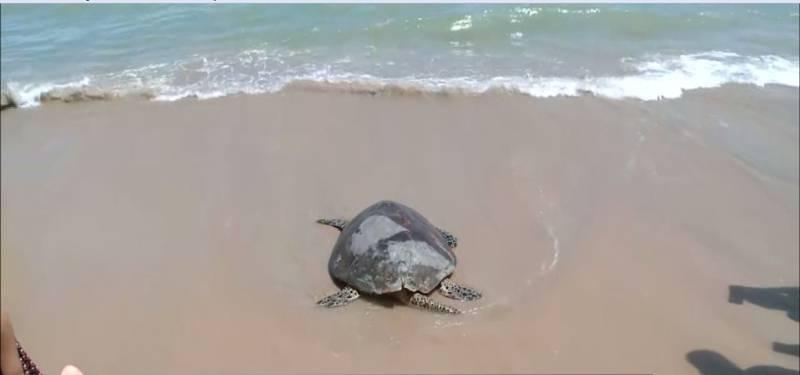 Tartaruga é devolvida ao mar após tratamento, em João Pessoa — Foto: Reprodução/TV Cabo Branco