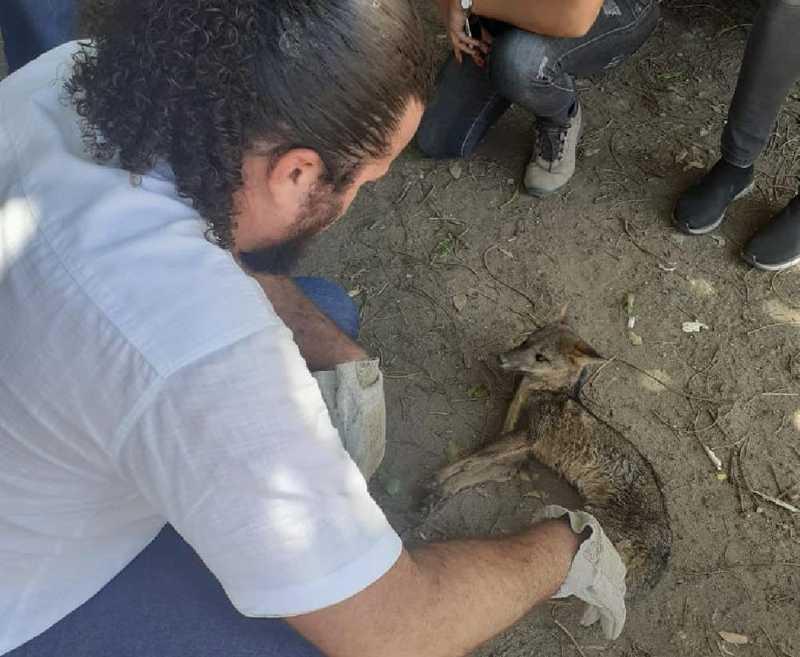 Raposa foi resgatada por servidores da prefeitura de Paulista e levada para o Centro de Triagem de Animais Silvestres (Cetas/Tangará), no Recife — Foto: Prefeitura de Paulista/Divulgação