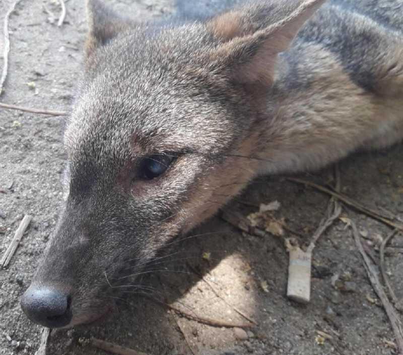 Raposa foi encontrada em área de mata e estava debilitada, segundo a prefeitura de Paulista, no Grande Recife — Foto: Prefeitura de Paulista/Divulgação