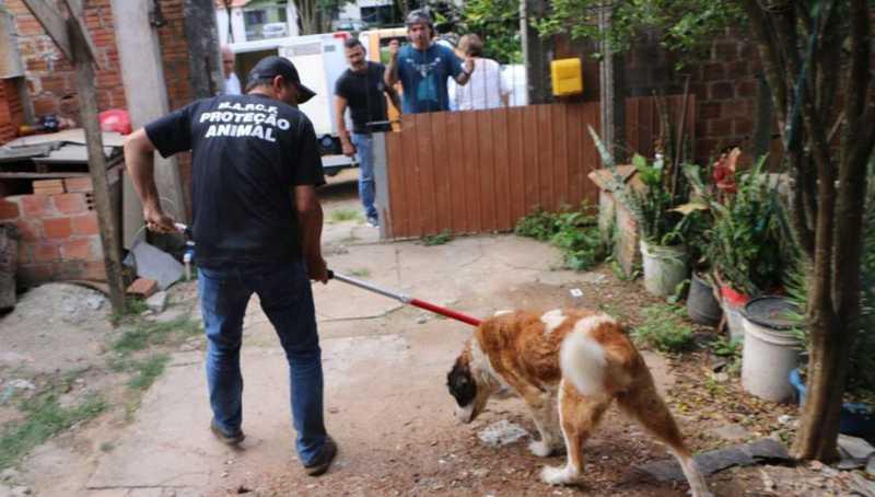 Cachorro da raça são bernardo vítima de maus-tratos mal conseguiu se levantar de tão fraco. Foto: Polícia Civil