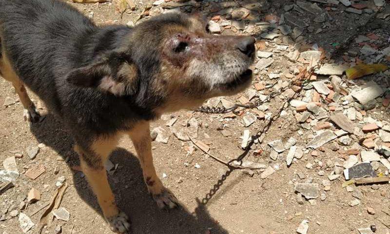 A cadela foi encontrada com ferimentos da face. Ela e outros dois cachorros foram levados pelos agentes da PM para o 'Programa de Saúde Animal', do município. — Foto: Linha Verde/Divulgação