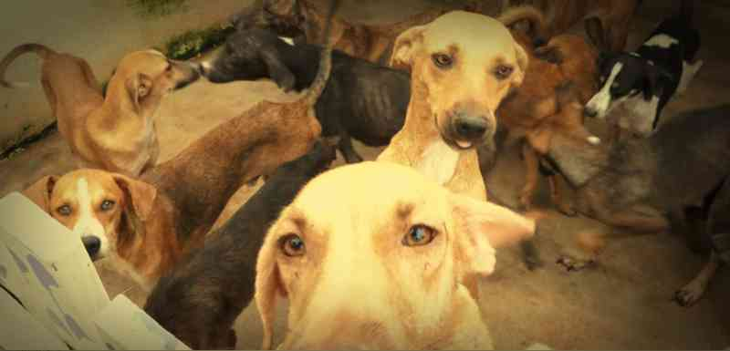 Omissão da prefeitura pode levar 200 cães de volta as ruas de Porto Velho, RO