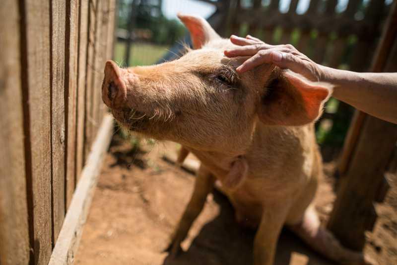 Porquinho Pingo tornou-se um símbolo da luta do Santuário pela libertação dos animais. (Foto: Luiza Castro/Sul21)