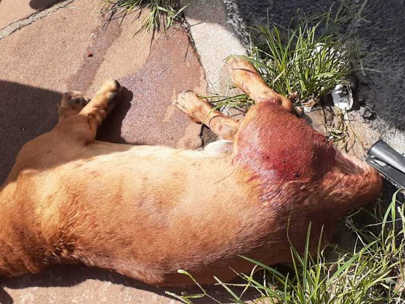 Cão foi encaminhado para atendimento veterinário e Polícia vai investigar o caso - Crédito: Talis Ferreira
