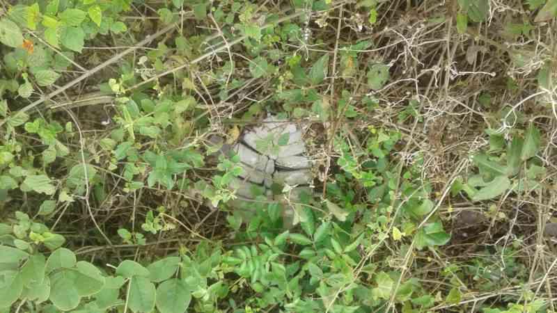 Cerca de 25 tartarugas são encontradas mortas em Barra Velha, SC