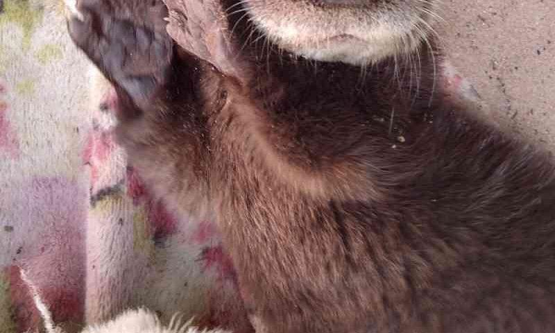 Lontra órfã: vídeos da reabilitação do filhote são sucesso nas redes sociais