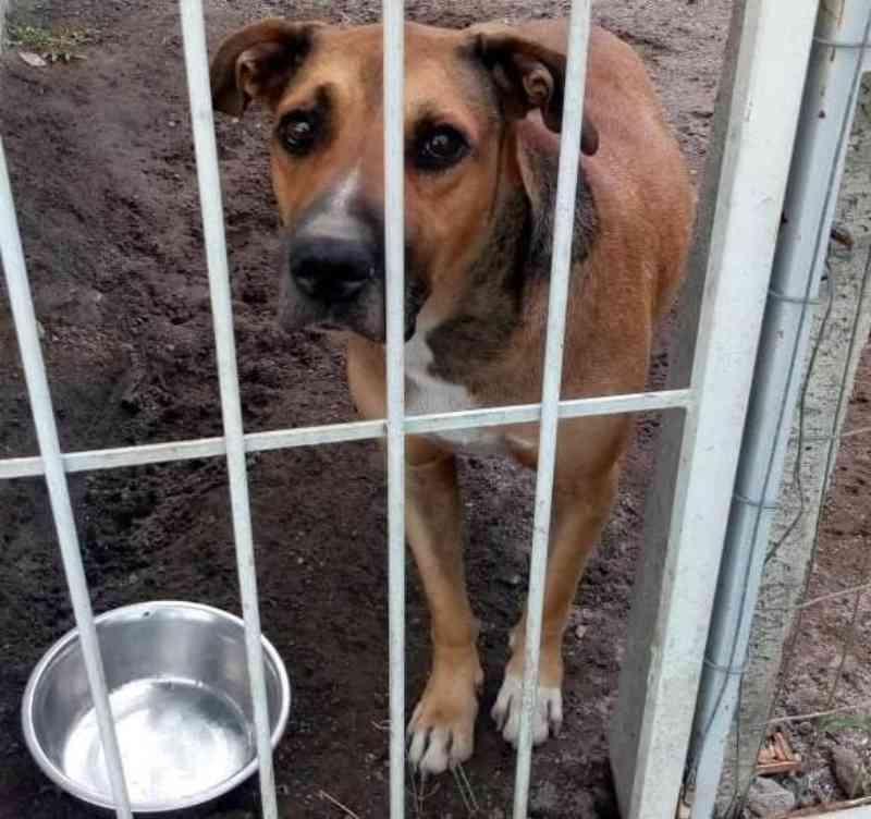 Cachorros de grande porte esperam por adoção no Centro de Bem-Estar Animal de Joinville, SC