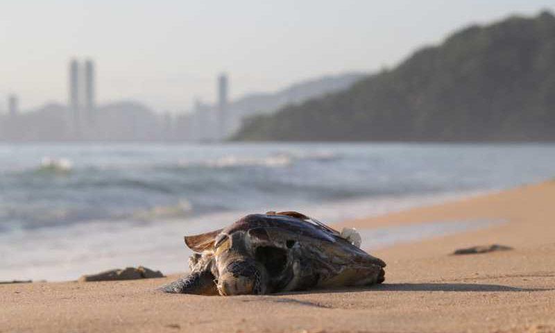 Tartaruga foi encontrada morta na Praia Brava Itajaí — Foto: Luis Souza/ NSC TV