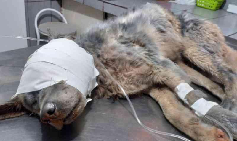 Cão ferido e intoxicado não resiste aos ferimentos e morre em Bragança Paulista, SP