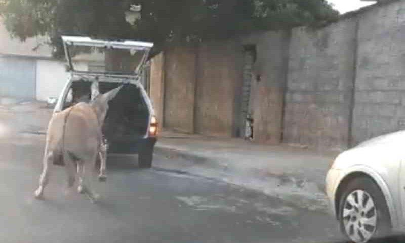 Morador flagra burro sendo arrastado por carro no interior de SP; vídeo