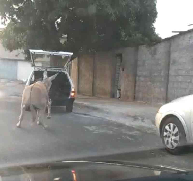 Morador flagra burro sendo arrastado por carro no interior de SP; vídeo