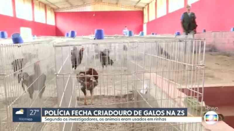 Polícia Civil descobre criadouro com mais de mil galos usados em rinhas na Zona Sul de São Paulo