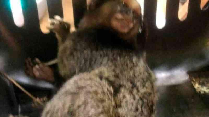 Crianças apedrejam Sagui em Itatiba (SP) e animal tem traumatismo craniano