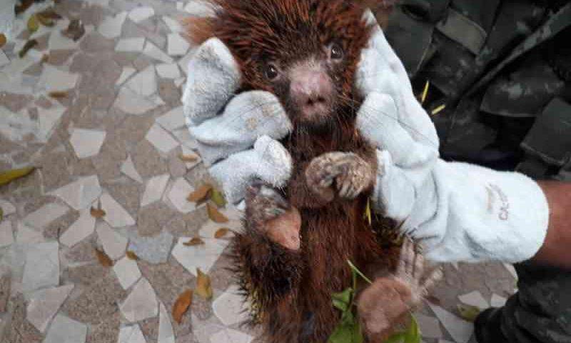 Porco-espinho é resgatado após ser atacado por cobra e cair de árvore