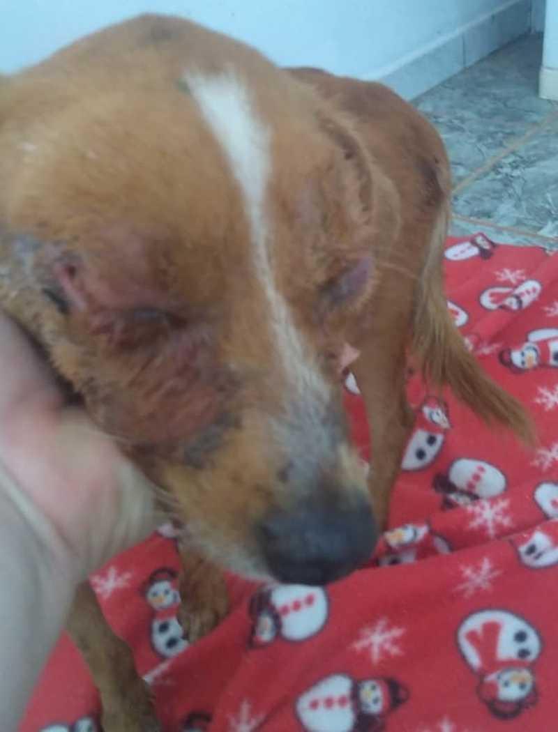 Cão resgatado sem um dos olhos mobiliza voluntários da causa animal em Bauru, SP